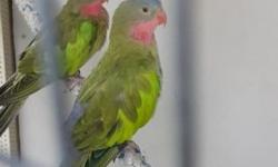 Proven pair PRINCES OF WALES. Their about 8 years old. They have goog health and perfect feathers. And tame. $450. Call or tex 7864885939