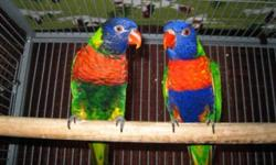Proven Pair Rainbow Lorikeets,male Swainson and female Hybrid Rainbow (Green-Nape x Swainson) this pair were hold backs they were hand-raised by me they hatched May 2011 they do not incubate their eggs so you must artificially incubate they've given me 3