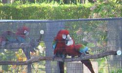 Beautiful Pair of Scarlet Macaws. Phone: 561-594-7007 LOXAHATCHEE GROVES, FL 33470 -------------------------------------------------------------------------------- $1,100 female Greenwing Macaw. Egg laying. She plucks on her lower abs for brooding. All
