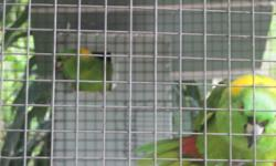 2 Very Rare Jubilee Macaw unweaned babies $1200 each to ex hand feeders 2 Tamed magna double yellowhead Amazon talking and singing $799 Tamed yellow naped Amazon $799 2 proven pairs of blue gold macaws $1000/pair Female lutino ringnecks $200 2 tamed blue