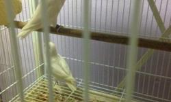 I have one pair of lovebird For sale male is white black eyes Female is albino ready to breed Asking 300 This ad was posted with the eBay Classifieds mobile app.