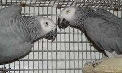 I have Excellent proven pairs of African greys that are very active breeders, having large clutches and make great parents, these pairs produce several times a year with 3 to 5 babies each clutch. I will ship, healthy young adults. please call me direct