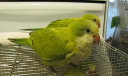 Due to medical, I am forced to sell my Beautiful Proven Productive Pairs of Quaker Parrots. Sadly!!!! 1 Red Eyed Cinnamon single female, 1 pair that are both G/B/C. I also have some singles. Green Pallid (dark eyed Cinnamon). Please call for more info. I