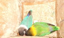 I'm looking for a new home for all of my beautiful lovebirds. I have 10 birds 5 males 5 females they are proven pairs, some of them have eggs in their nest boxes. I have 2 blue masked, 2 black masked, 1 yellow Fischer, 1 light green Fischer, and 4 are