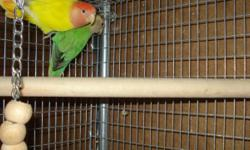 2 proven prolific pairs of Peachface lovebird mutations for sale. Both are well proven for me. Both pairs are early 2012 hatch. I have the specifics on my excel sheet. Breeding records also. Pairs are close-banded and were surgically sexed and tatooed.