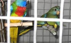 Female blue gold macaw Macaw bad feathers $250 Proven pair of Maximillion Pionus $350 Male Molucaan Cockatoo $650 Yellow Naped Amazon $300 single blue front Amazon $250 2 Proven pairs of Red factor African Greys $1500 pair Tamed Lesser sulfer crested