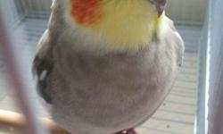 2 year old smooth emerald cockatiel breeder partially tamed Will step up, good in cars, not good with other males, and have produced very colorful babies From pure emerald bloodlines asking $100 price negotiable $125 with cage Trades are welcome, looking