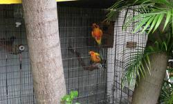 I have 3 proven pairs of sun conure for sale. Selling each pair for 475.00. If you want their cage and nest also its an extra 50.00. If interested email or call 305-803-5008.