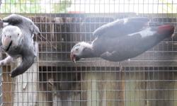 proven pair of timneh african greys $800 for the pair .. i bought these birds as a package to purchase other birds and not interested in breeding timnehs