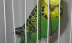 I have 10 show quality 100% english budgies for sell ... 35 to 65 dollars depending on the bird albino hen 2012 lutino hen 2013 olive hen 2012 double factor spangle (all white) hen 2014 light green male 2012 dom. pied male 2012 light blue spangle 2014 and