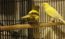 Pure waterslager canaries. Great singing birds only 50 each.