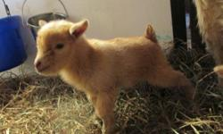 Purebred Angora Goat 1 Year this April Paid $350, will take first reasonable offer Call or text 508-245-3072