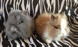 Gorgeous purebred double mane Lionhead bunnies $125, blue eyed whites $150 760-473-2442 This ad was posted with the eBay Classifieds mobile app.