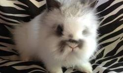 Purebred Lionhead bunnies. Male & female available, various colors $100 760-473-2442 This ad was posted with the eBay Classifieds mobile app.