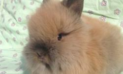 Purebred Lionhead bunnies ready to take home now. males and females available $75. 760-473-2442 This ad was posted with the eBay Classifieds mobile app.