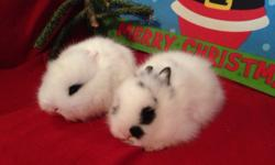 Purebred broken black Lionhead bunnies have one girl & one boy available $125 each. Will hold until Christmas if needed. 760-473-2442 Location: Ramona This ad was posted with the eBay Classifieds mobile app.