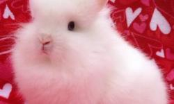 Gorgeous 5 month old white with Blue eyes purebred Lionhead (2 available)Only willing to sell to a indoor home where they will be spoiled rotten. 760-473-2442 This ad was posted with the eBay Classifieds mobile app.