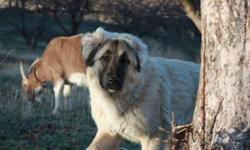 I have three brave, beautiful, female Livestock Guardian Dogs available. Our pure Anatolian LGD is a three year old and our one year olds are Great Pyrenees / Anatolian Shepherd. They are all fully intact, but have never been bred. Our livestock guardians