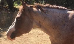 Beautiful, sweet QH mare 15H 12 years old, gentle broke. we reserve the right to refuse sale