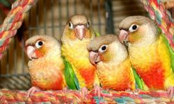 Several Quaker breeder birds to choose from. Asking $100 each. Located at our Bird Store at 1232 Rock Springs Road Apopka, FL 32712. Come check out our wide selection of Exotic Birds today!