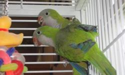 QUAKER BREEDER PAIR, Male is Blue, 5 years old, (He has a picked chest), Female is GREEN split to blue 2 years old. Water bottle trained. They do not come with a cage. SORRY NO SHIPPING. Cash Only, asking $300.00