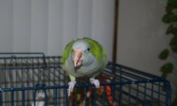 This nice pair is ready to be put to use. Belonged to my daughter, who never set them up. I got them with intentions of maybe doing so, but life is busy! Have not been DNA'd. but have been seen breeding. Good feather and semi-tame. Parrot cage and stand