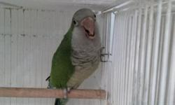 proven green pair of Quakers $275 male is on perch , female is behind the toy just reduced to $200 pair
