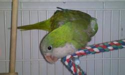 Quaker Parakeet - Gabby - Small - Adult - Bird Note: We do not ship parrots and generally adopt only within a 200-mile radius of Fargo, North Dakota. A pre-adoption home visit by a member of our adoption committee is required for every adoption. Adoptions