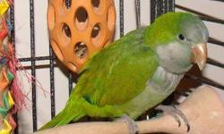 I have what I believe to be an older Quaker Parrot . The bird is cage aggressive like most are . Very friendly and responds well out side the cage . Good talker . He did come from a smokers home . The bird is not banded . The beak was very over grown when