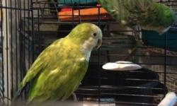Banded '08. Male is green and hen is pallid yellow. Proven by previous. They are loud, they are aggressive, they are definitely breeders and not pets. They come with a small cage and their nest box. $250 cash firm or trade for mutation fischers or