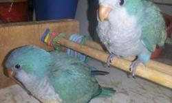 Bonded pair of green Quakers, $150, $200 w/cage & nest box.