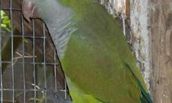 plit to blue adults Quakers,males and females ,for breeders only,.Young birds of 2 or 3 years ,the split to blue produce the blue chick in proportion of 25%,mind 1 or 2 per clutch,and they produce the cinnamon or ligth green quaker too.These birds are not
