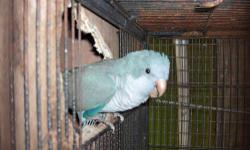 """This adult pair of proven Quakers(male blue and female """"split to blue"""") are young birds of 2 years of age.They produce baby blue quakers in a proportion of 25 %,that mind, 1 or 2 per clutch.(Clutch are of 6 or 7 eggs).They are 100% PROVEN PAIR,(I dont"""