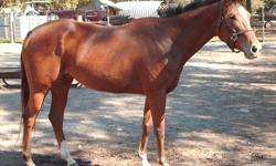 """Mare: ?Temper Time? ? Appendix Quarter Horse ? Foaling Date: 08/11/2003 - red bay - http://www.allbreedpedigree.com/temper+time2 """"Reese? was shown successfully under English. I understand she also did well in Beginner Jumping. Previous Owner wanted to go"""