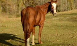 Quarterhorse - Chickasaw - Small - Adult - Female - Horse Chickasaw is a beautiful 14.1h bay mare. She?s very sweet and has great ground manners, is calm and looking to please. She needs a confident rider because she is green but not spooky or hard to