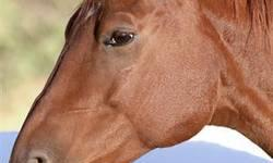 Quarterhorse - Felix - Medium - Adult - Male - Horse Curious and clever, Felix is one of the shining ground-game stars of Horse Haven's twice-weekly Parelli demonstrations. This boy loads into a trailer backward and his flashy style always attracts