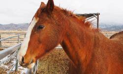 Quarterhorse - Jetta - Extra Large - Senior - Female - Horse Miss 'Jetta'aboo AQHA, born 4/30/1990 16 hh Jetta needs to be a pasture horse. She's friendly and sweet and loads and trims well. She had an injury when she was younger and hasn't been ridden in