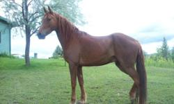 Quarterhorse - Shaggy - Large - Senior - Male - Horse Shaggy's age is unknown but the vet guessed him to be in his mid-twenties. He has Cushings and needs pergolide daily (at a cost of about $40/month) but is still very sound for riding. He is a sweet and