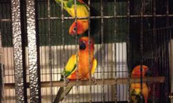 I have 2 young queen of Barvaria conures parrots. They are young, active and love attention. Very tame. These birds go for 3000 in pet stores Picture is how they will turn out Serious inquires only This ad was posted with the eBay Classifieds mobile app.