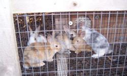 Good healthy Rabbits. , 7 weeks old , several colors, Tame for pets, or are good eating also. These rabbits are dressing out about 2 1/2 pounds , weaned babies 7 weeks old . $8 each. , 3 proven breeders does $15 each. , 2 does 6 month old, not bred yet $