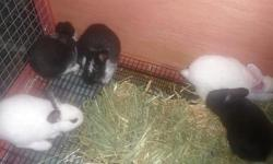 WE HAVE 6 BUNNIES THAT WILL BE 6 WEEKS OLD ON JUNE 30TH. WE HAVE ALL WHITE, BLACK & WHITE, FOR 4 - H , OR PETS. THEY ARE HEALTHY AND VERY PLAYFUL. THEY ARE NEW-ZEALAND / SATIN. MOM IS RED & WHITE DAD IS BLACK & WHITE. BOTH ARE VERY FRIENDLY. IF YOU ARE