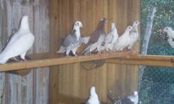 I have some racing homers...most are banded .have about 20 birds... buy them all for $ 5.00 ea ...1979-421-3856...Brenham,tx...no shipping on these birds