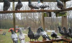 all colors and strains homing pigeons. 20.00 a pair. breeder birds ready for you to raise your own flock of pigeons Get ready for the spring racing season now. can be shipped by US Mail , or picked up.