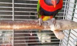 I have a young tame lory to rehome. No cage is included. Cage is seperate. Asking a rehome fee off $550