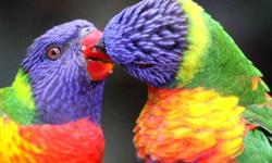 I'm selling my proven pair of rainbow lorikeets. they are currently nesting again. they are not pets and will become more aggressive while matting. they are fun, curious, and definately very colorful birds to watch, and to have them. unfortunately in the