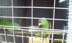 Proven (for me) pair of Swainson's Rainbow Lorikeets. Excellent feather. about 5 years old. Pics are of actual birds. $800. sorry no shipping. 909.730.3241