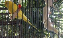 I have many Albino parakeets and Lutino parakeets and some cremino. I have babies available to hand feed and also weaned parakeets. I have many different types of parakeets. If interested email or call 305-803-5008