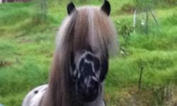 A rare opportunity to acquire a rare pure Falabella miniature horse. Gorgeous loud black appaloosa, good heart, kind demeanor. Ties, lunges, has been slightly ridden, lies down, great for parties. A good family home is imperative. SERIOUS INQUIRIES ONLY!!