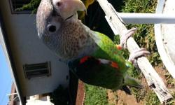 Looking for a pair of rose breasted cockatoo to trade with my super tamed cape parrot. Pls contact email for details.