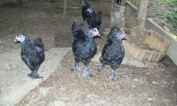 I have Black Langshans-5-roosters 2-pullets,,,Black Breasted Malays-1-rooster 2 pullets,,,they are 12 weeks old,,,,, Blue Maran 3-pullets 7 weeks old want $8 each or take them all for $90 call 501-344-8490 at Bradford which is in White County